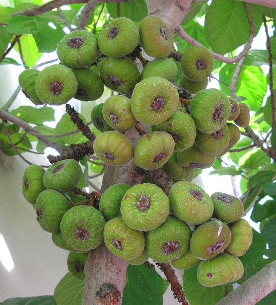 ficus-auriculata-fruit