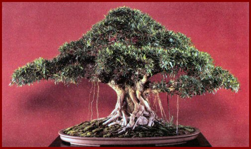 ficus-nerifolia