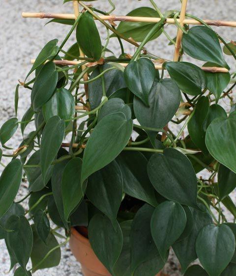 filodendro-brasil