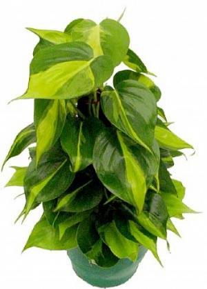 Plantas venenosas para pets pettonetto for Planta filodendro