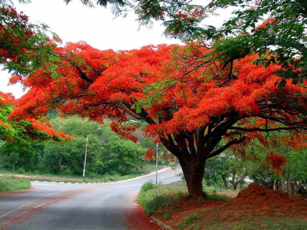 flamboyant-vermelho