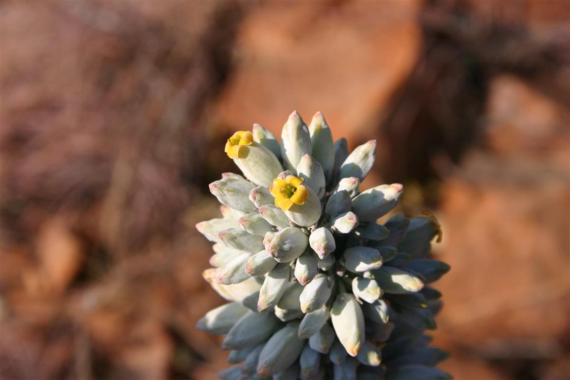 flor-Kalanchoe_thyrsiflora00