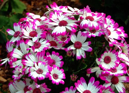 flor anual