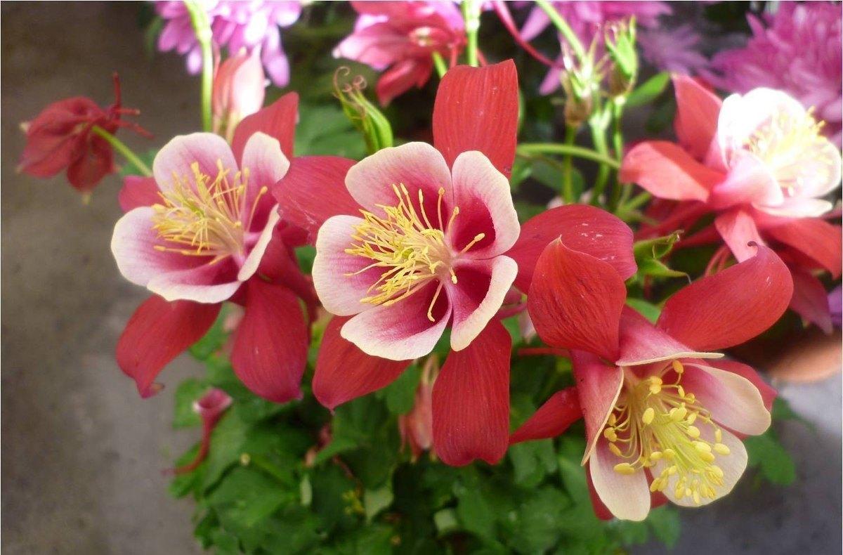 flor-aquilegia-1
