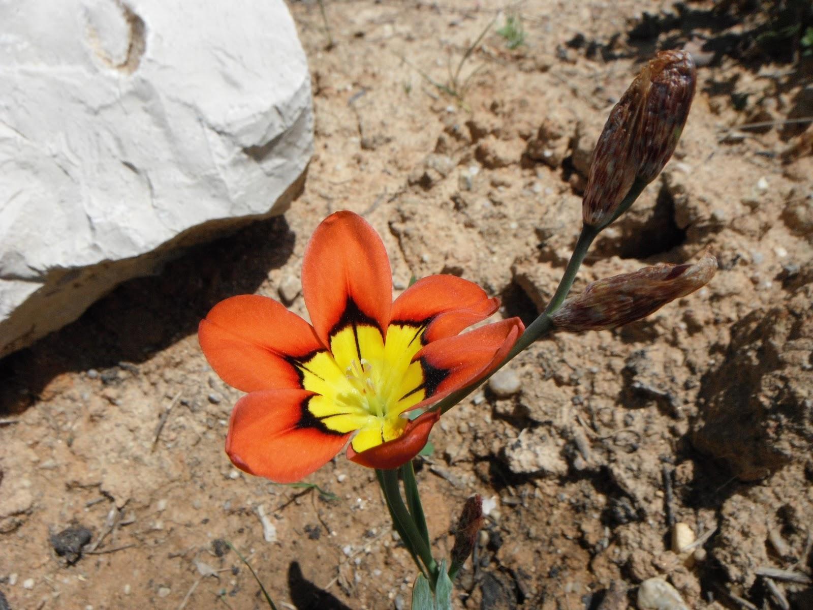flor-arlequim