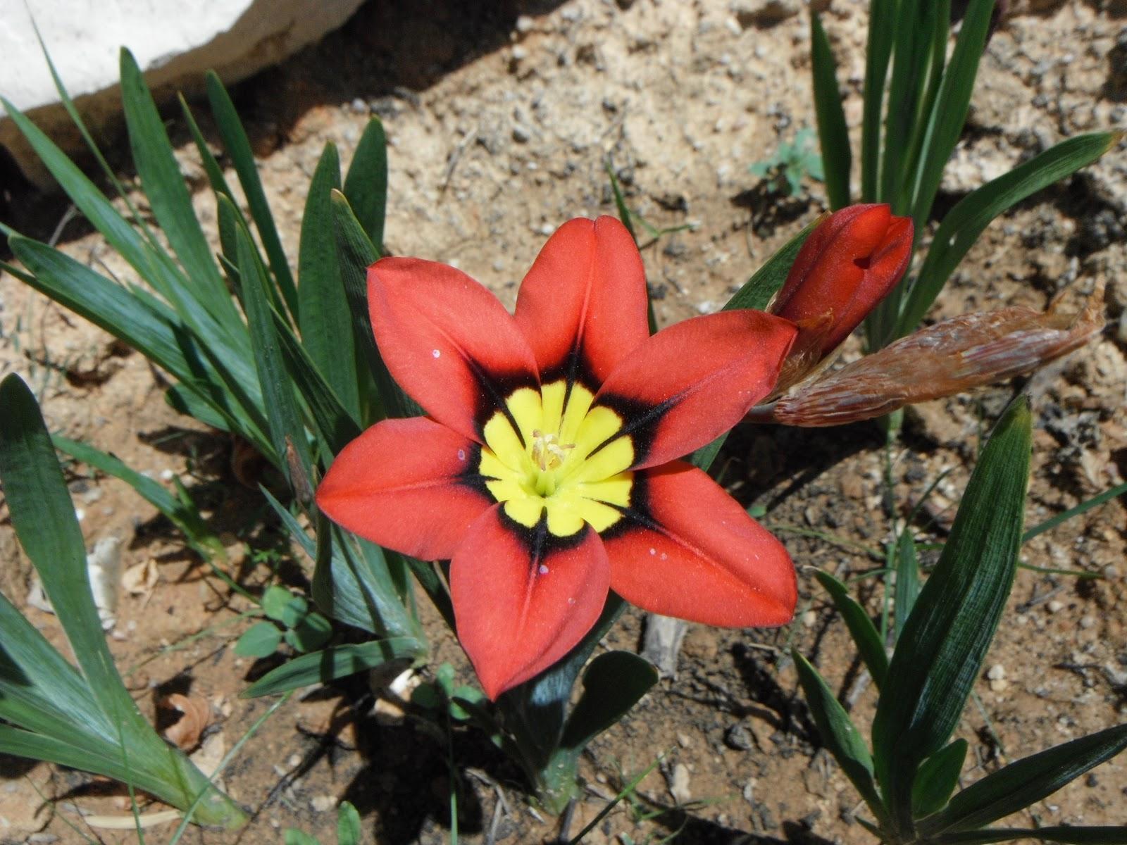 flor-arlequim1