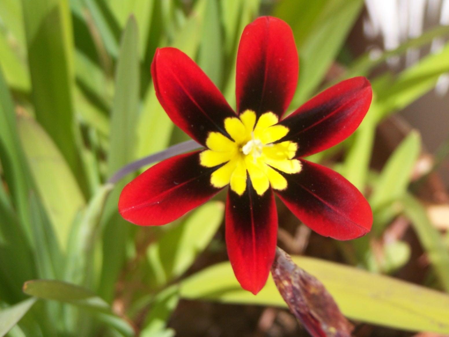 flor-arlequim4