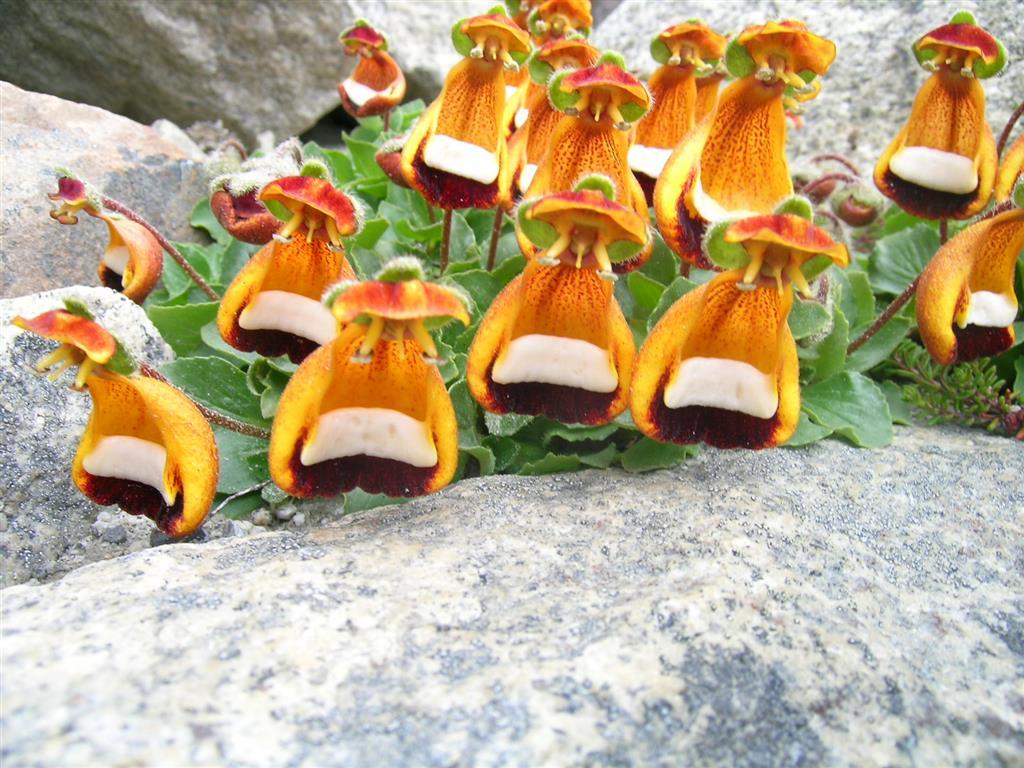 flor-bonequinha