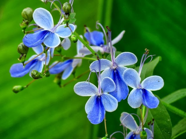 flor-borboleta