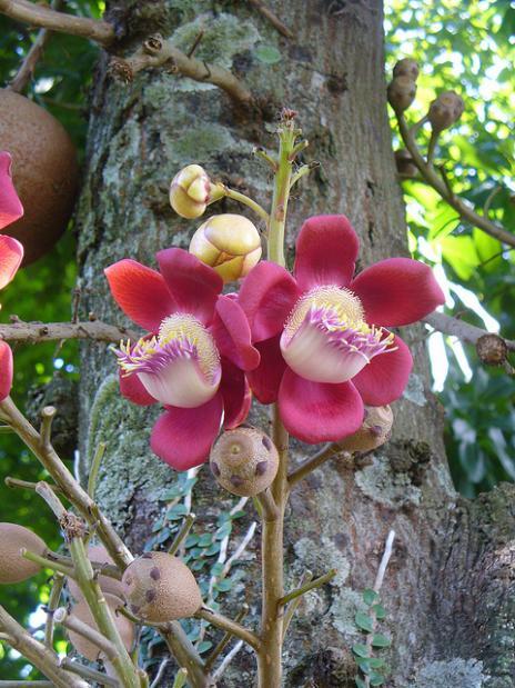 flor da Coroupita guianenses,