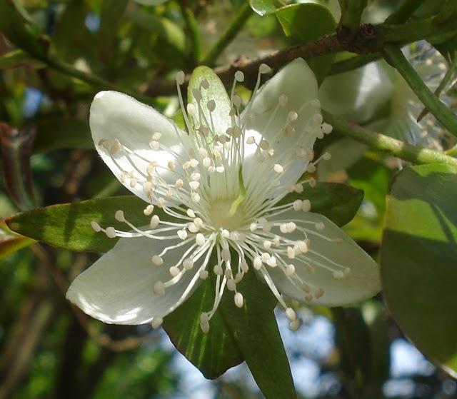 flor da Eugenia involucrata - flor