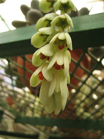 flor da Pachyphytum oviferum