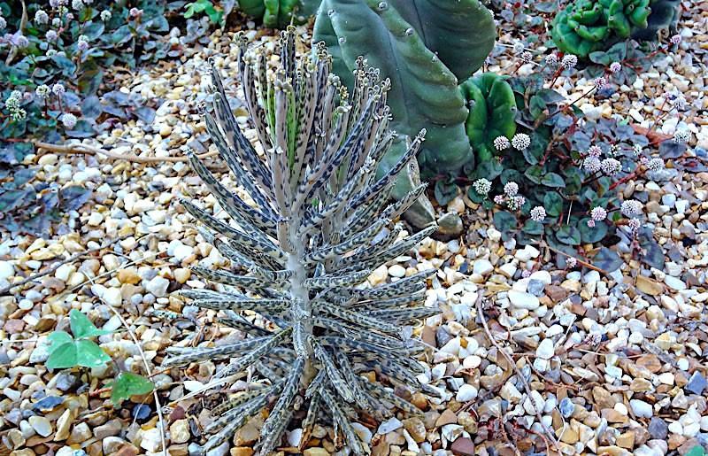 flor-da-abissínia-kalanchoe-delagoensis