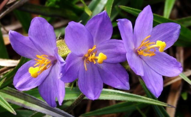 flor da canela-de-ema