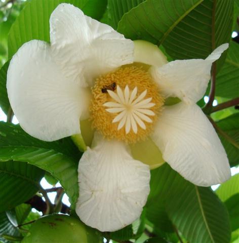flor da dillenia indica