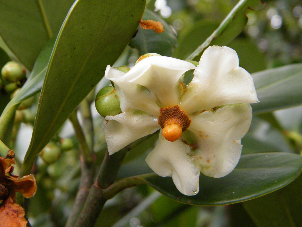 flor da figueira-de-jardim