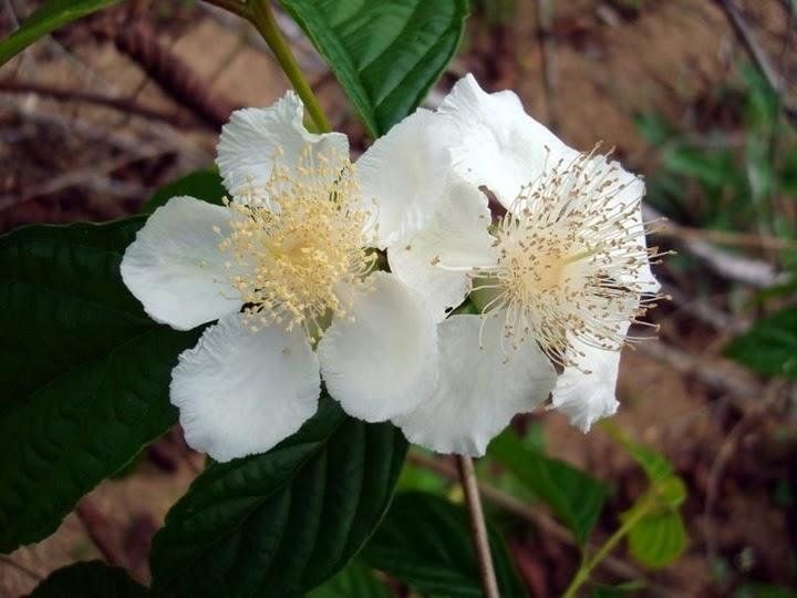flor da guabiroba