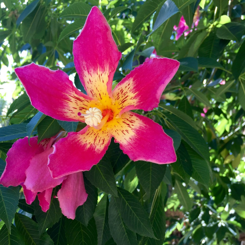 flor da paineira-rosa