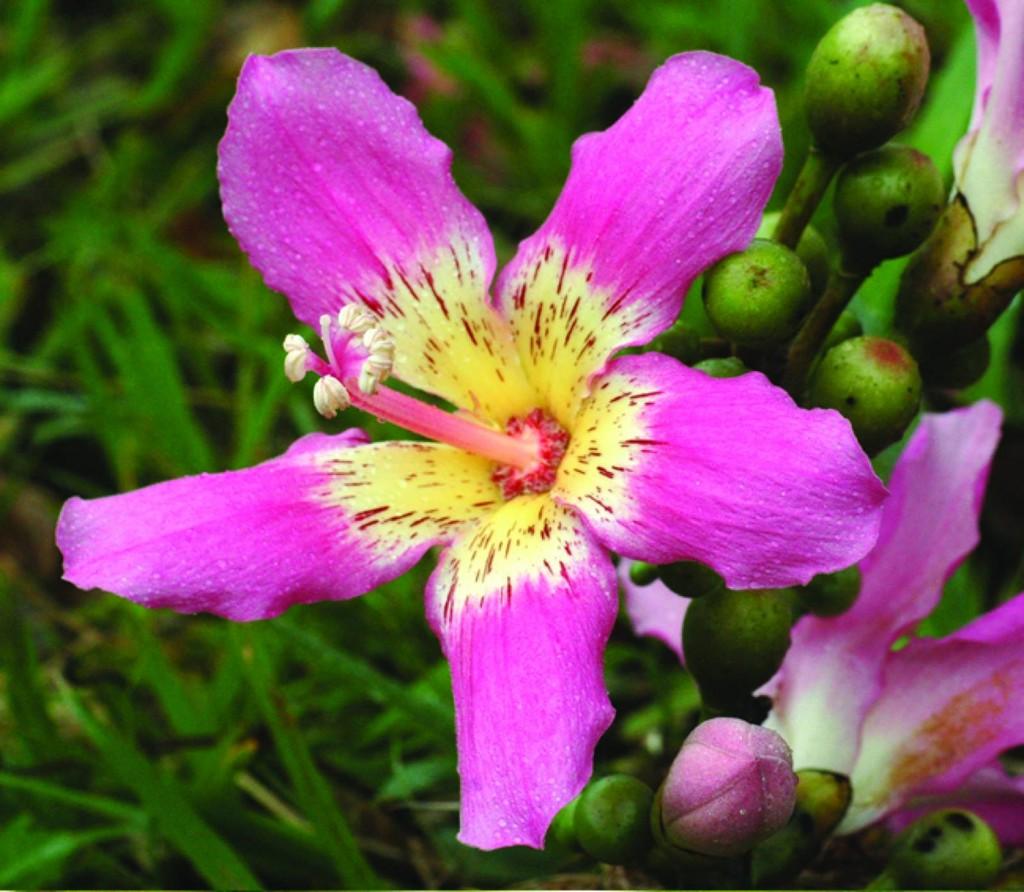 flor da paineira