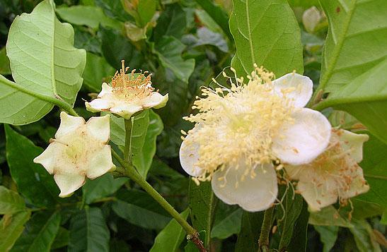 flor de cambuci