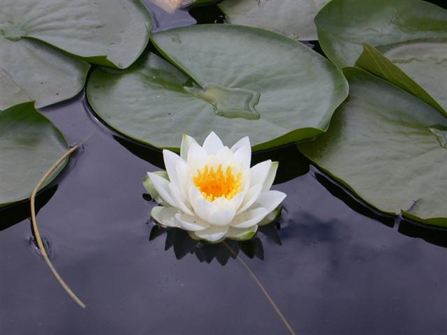 flor-de-lotus
