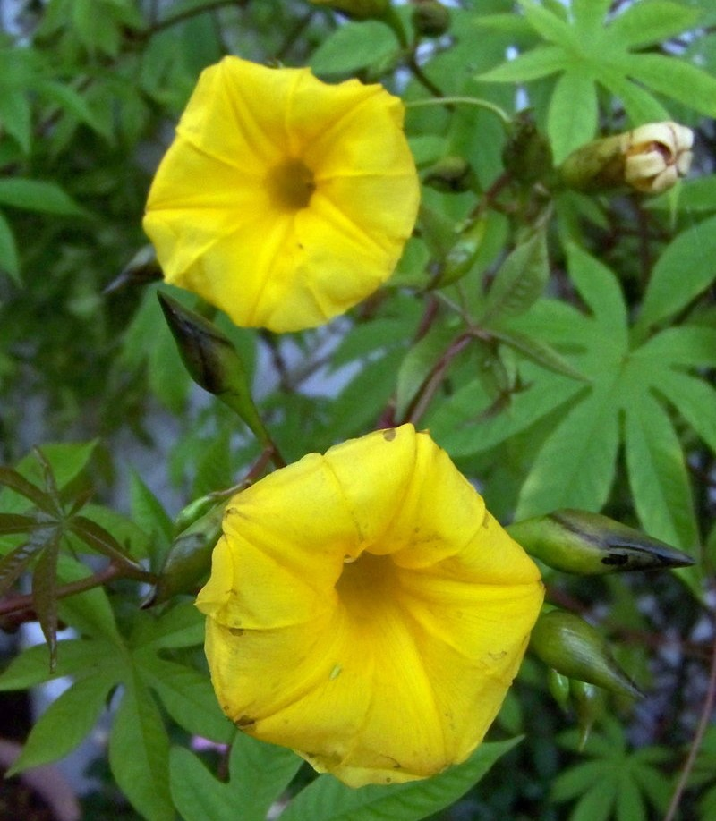 flor-de-madeira