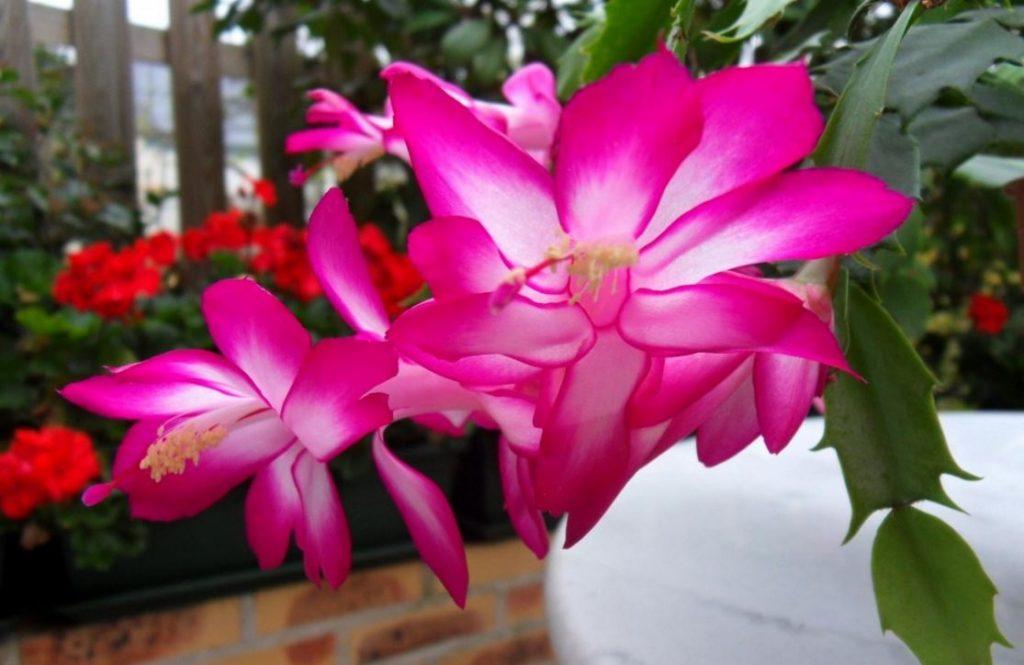 flor-de-maio-13