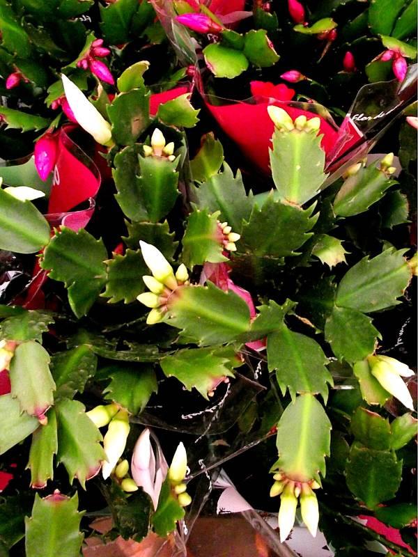 flor-de-maio-schlumbergera