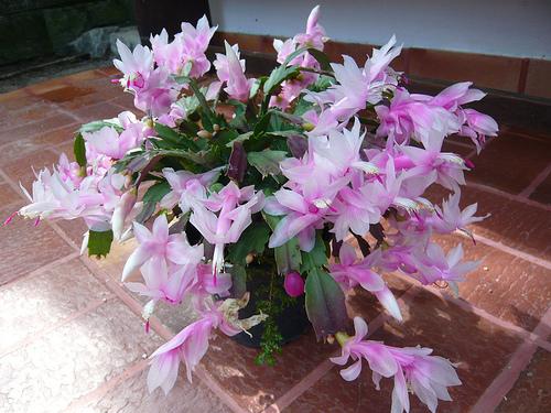 flor-de-maio1