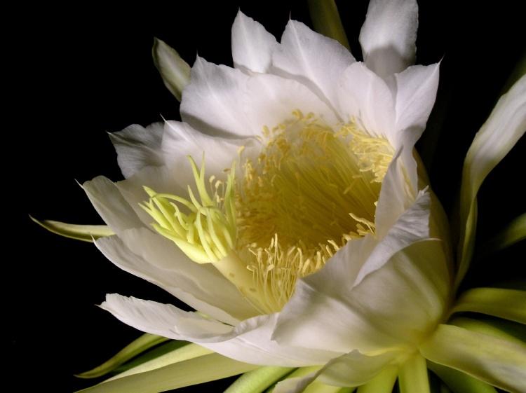 flor de pitaya