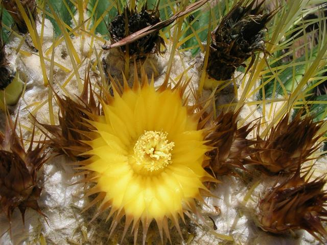 flor do Echinocactus grusonii