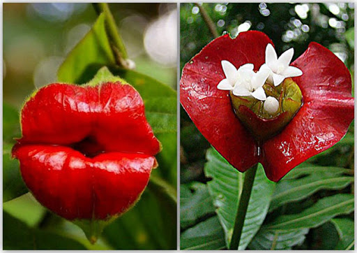flor-do-beijo