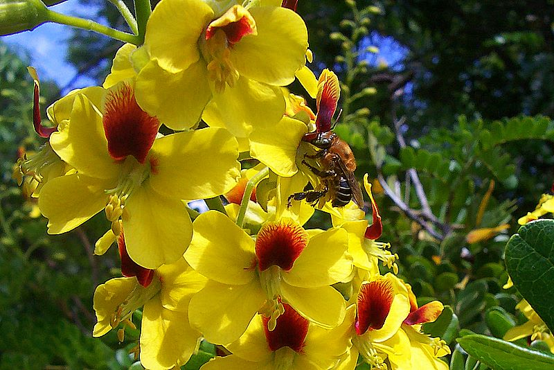 flor-do-pau-brasil-3