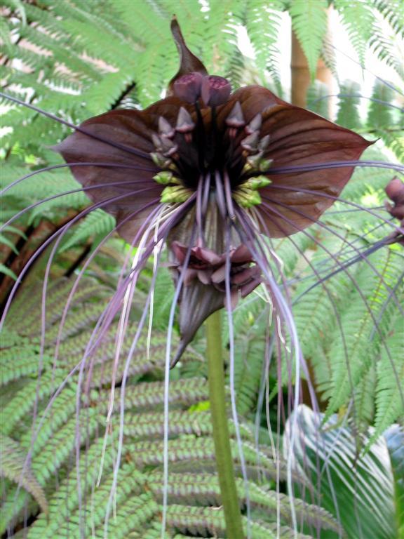 flor-morcego