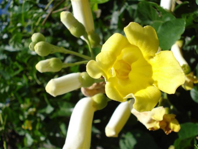 flor pente-de-macaco