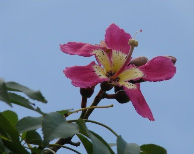 flor sumauma