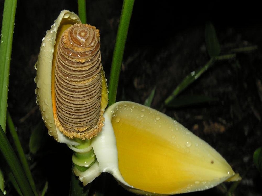 floração-Cyclanthus Bipartitus