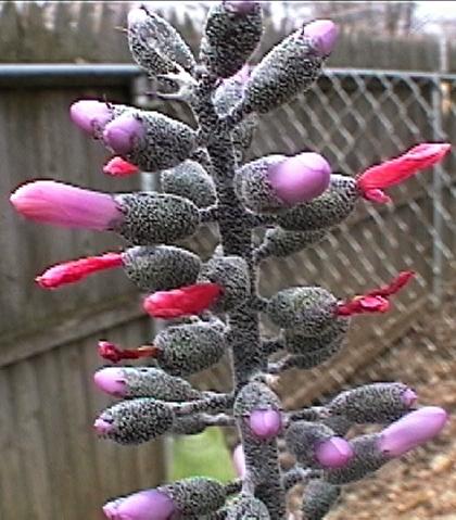 floração da  Aechmea Lueddemanniana