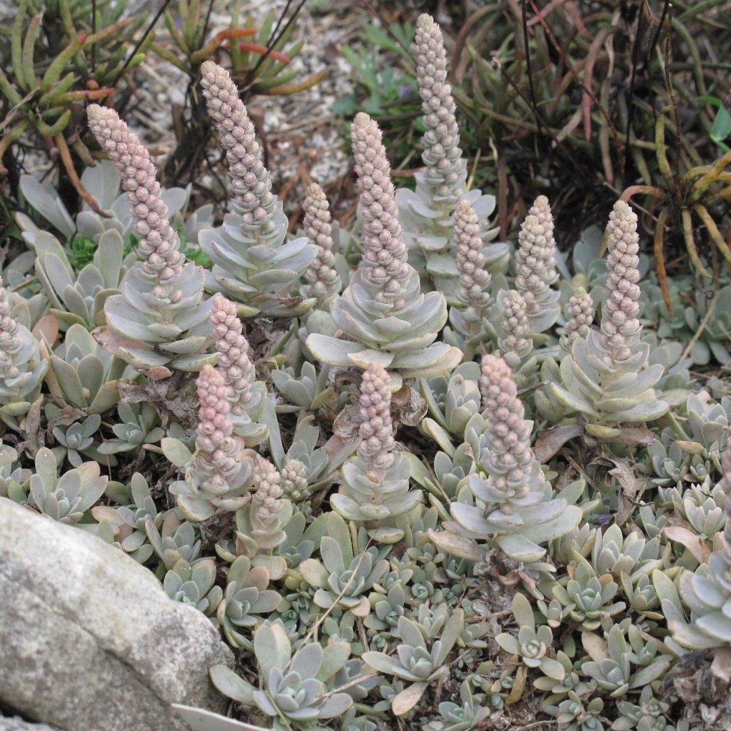 floração da Orostachys Boehmeri