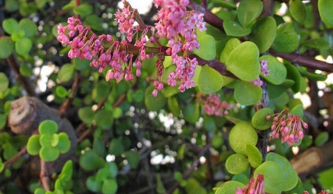 floração da portula