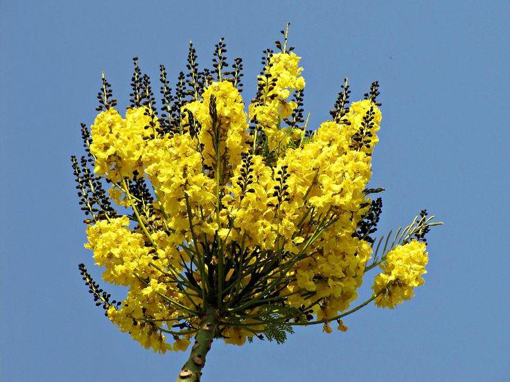 floração do guapuvuru