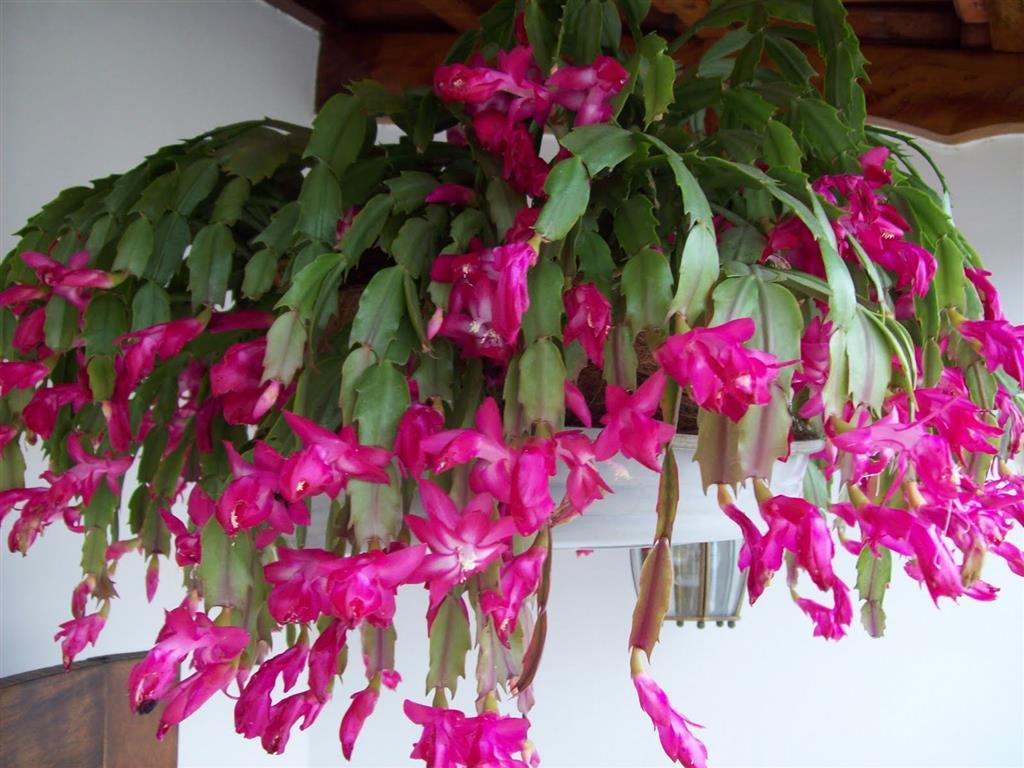 flor-de-maio-vaso