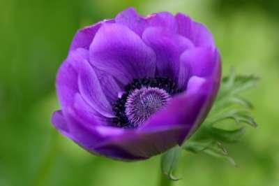flores-anemona_977_1