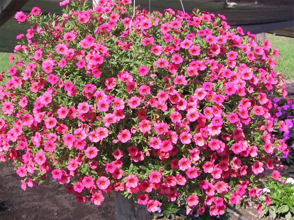 flores-begonias