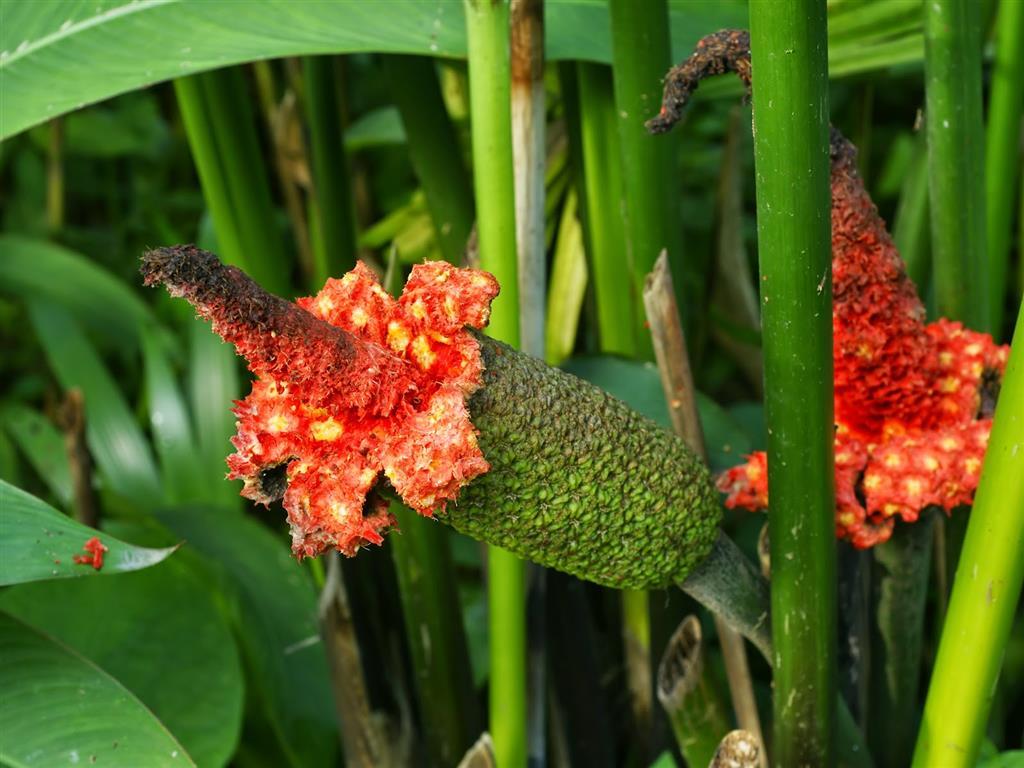 flores da Carludovica palmata