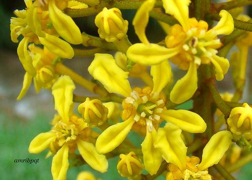 flores da Lophantera Lactescens