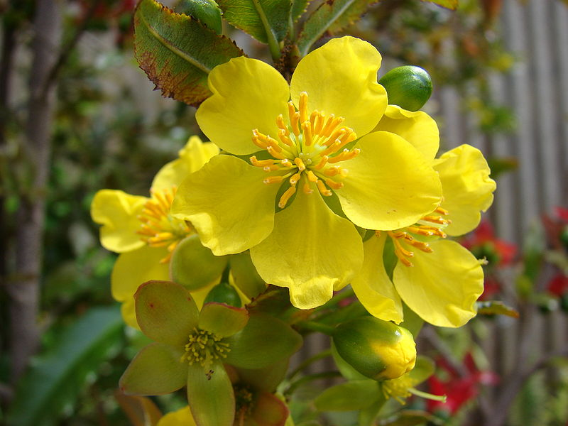flores da Ochna_serrulata