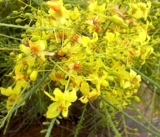 flores da Parkinsonia aculeata