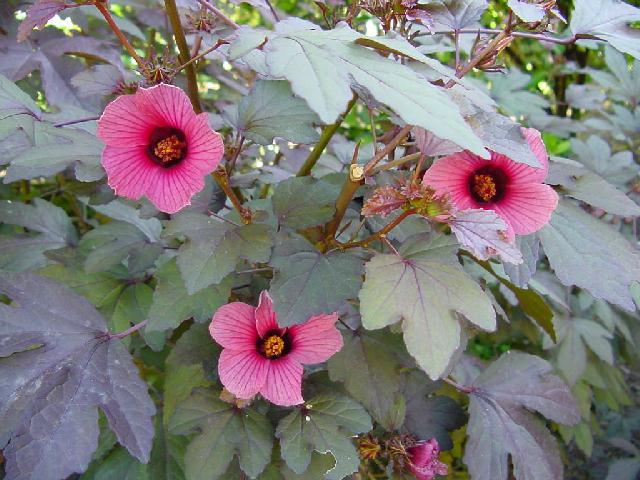 flores da Roselle - Hibiscus sabidariffa)