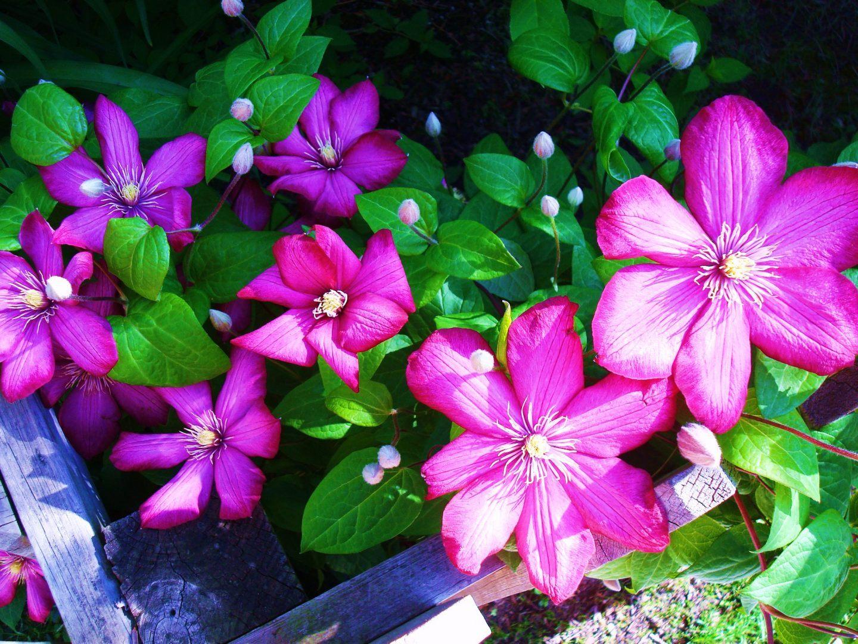 flores-da-clematis